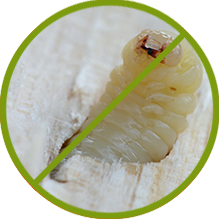 Holzwurm Bekämpfung
