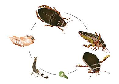 Käfer Zyklus