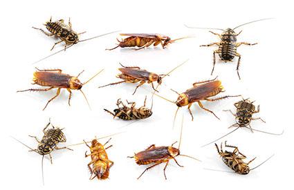 Kakerlakenbefall
